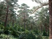 مدل درخت کاج جنگل
